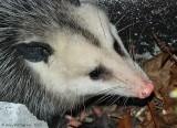Opossum - 0096.jpg