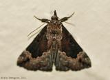 Baltimore-Snout-(Hypena-baltimoralis)---0368.jpg