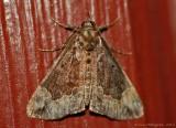 Baltimore-Snout-(Hypena-baltimoralis)-31-Aug-2012---0056.jpg