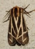 Tiger Moth 0307