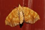 Grapevine-Looper-Moth---0001.jpg