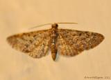 Eupithecia sp. - 0362.jpg