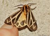 Tiger-Moth-sp.---possible-Nais-(Apantesis-nais)-29-aug-2012---0305.jpg