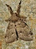 White-marked-Tussock-Moth---(Orgyia-;eucostigma)---29-aug-2012---0303.jpg