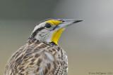 Eastern-Meadowlark---4172.jpg