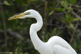 Great Egret with Anole