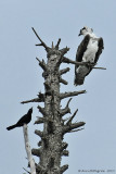 Osprey and Boat-tailed Grakle