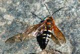 Cicada Killer - Male