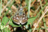 Common Checkered-Skipper - Male