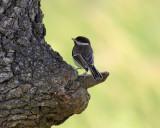 Sombre-Tit ( Parus lugubris )