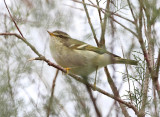 Yellow Browed Warbler.