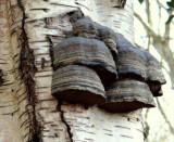 Hoof Fungus (Fomes fomentarius )