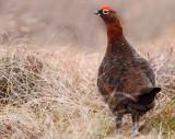 Red Grouse ( Lagopus lagopus scotinus )