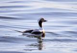 Long tailed Duck ( Clangula hyemalis )