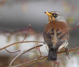 Fieldfare.( Turdis pilaris )