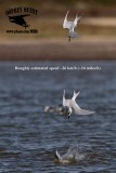 Forster's Tern - Roughly estimated dive speed