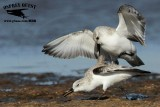 Sanderling - territorial fight UTC November 2012