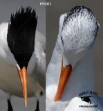 Royal Tern in breeding plumage during fall months