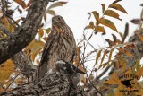 Cooper's Hawk takes White-winged Dove at Russ Pitman Park Nov 26, 2012