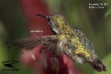 Calliope Hummingbird primary molt November 28, 2012
