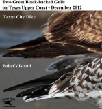 Great Black-backed Gulls - UTC 2012 - plumage differences