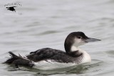 Common Loon showing extensive white on flanks - January 12, 2013 UTC