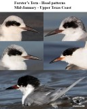 Forster's Tern - Head patterns - Mid-January - UTC