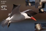 Caspian Tern with band -January 18, 2013