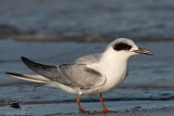 Forster's Tern with dark carpal bar