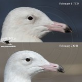 Glaucous Gulls - Upper Texas Coast - February 2013 - Individual differences