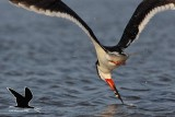Black Skimmer 2-1 catch