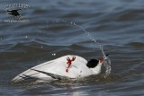 Forster's Tern - quiz