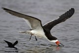 Black Skimmer with distal limb necrosis (dry gangrene) - landing on the water