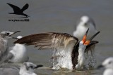 Black Skimmer with distal limb necrosis (dry gangrene) - defending posture
