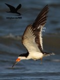 Black Skimmer with distal limb necrosis (dry gangrene) - prebasic molt