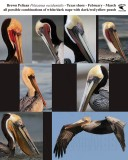 Brown Pelican - breeding plumages in Texas; Pacific - Atlantic type examples