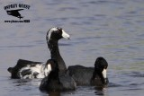 Leucistic American Coot - - UTC - March 2013