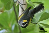 Golden-winged Warbler - searching, finding and catching prey at Russ Pitman Park