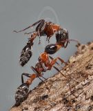 Special Project: Pseudomyrmex gracilis - Mexican twig ant