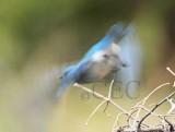Mountain Bluebird, male  _EZ65967 copy.jpg