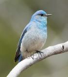Mountain Bluebird, male, Audubon filedtrip  _EZ66010 copy.jpg