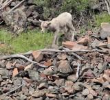 Chukar and Big Horn Sheep lamb  _EZ62355 copy.jpg