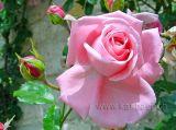 Rose (00053)