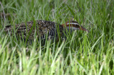 first view of banded rail in the grass