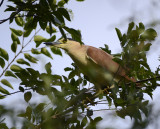 night heron perched high in tree nearby