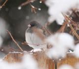 Dark-eyed Juncos in the Snow