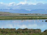 Chilean Flamingos on Laguna Nimez (2167L)