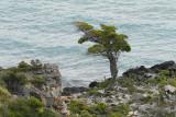 Windswept Tree Near Lago Pehoe (4000)