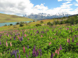Lupines and TdP (2650L)