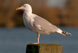 Caspian-gull-nov-2012-grouw-adult.jpg